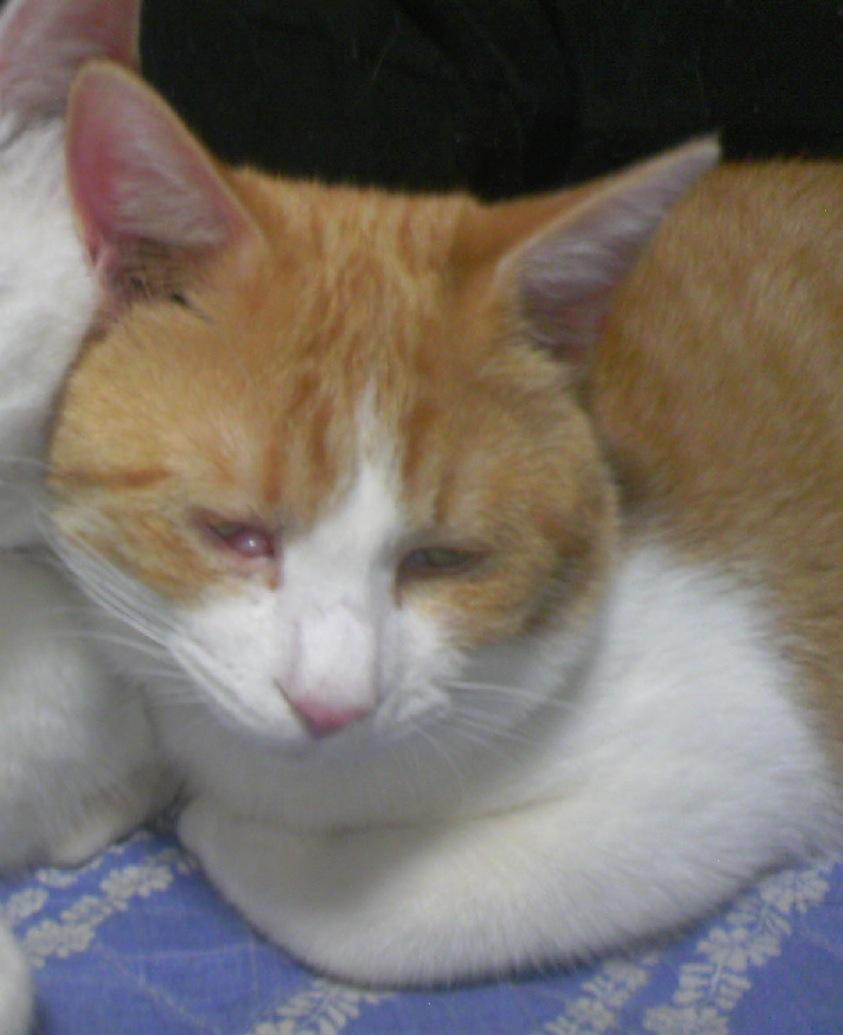 白い 猫 目やに