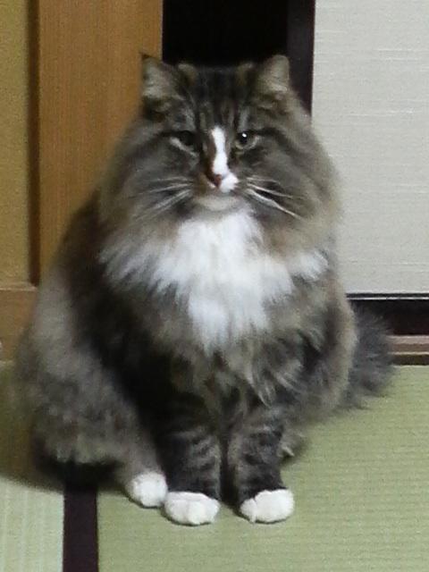 保護できました】No.0136・新潟県小千谷市・鼻筋がハクビシンの
